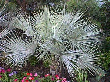 Brahea Armata Blue Hesper Palm Mexican